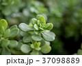 多肉植物 37098889