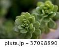 多肉植物 37098890
