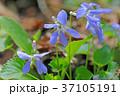 タチツボスミレ 花 植物の写真 37105191