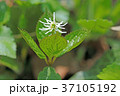 ヒトリシズカ 花 植物の写真 37105192