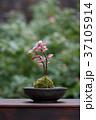 苔 盆栽 園芸の写真 37105914
