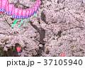桜 ランタン 風景の写真 37105940