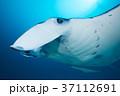 マンタ(顔アップ) 37112691