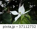 ヤマボウシ 37112732