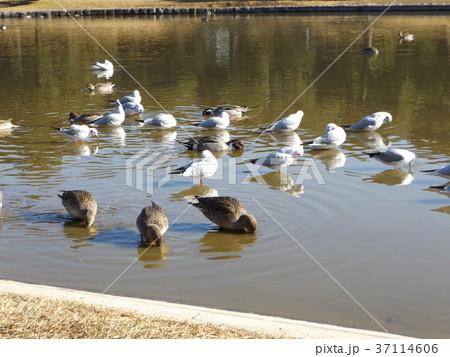稲毛海浜公園に飛来したオナガガモとユリカモメ 37114606
