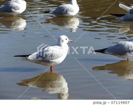 稲毛海浜公園に飛来したユリカモメ 37114607