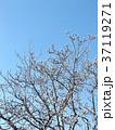 青空に良く会うモクレンの大きな花の冬芽 37119271