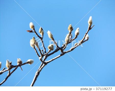 青空に良く会うモクレンの大きな花の冬芽 37119277