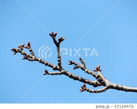 1月1日のカワヅザクラの蕾 37120470