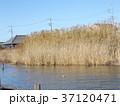 マコモの茂る霞ヶ浦の湖岸 37120471