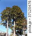 田舎の庭のヒノキの大木 37120476