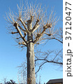 全く珍しいイチョウの大木のスタンダード仕立ての冬の姿 37120477