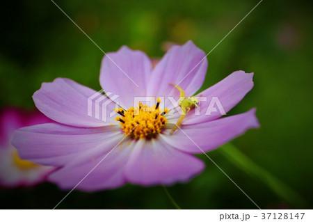 コスモスと花蜘蛛 37128147