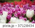 チューリップ 花 春の写真 37128434