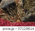 猫 動物 昼寝のイラスト 37128614