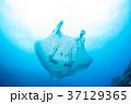 マンタ 37129365