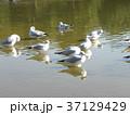 冬の渡り鳥ユリカモメ 37129429