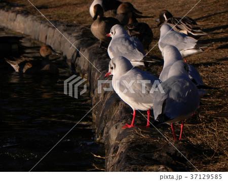 冬の渡り鳥ユリカモメ 37129585
