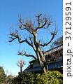 葉っぱを落とした冬の姿のカリンの木 37129591