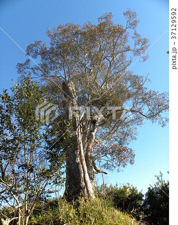 茨城県一だと言うモッコクの大木 37129592