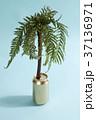 鉢 植物 樹木の写真 37136971