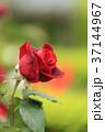 バラ 花 薔薇の写真 37144967