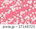 桜 花 桜柄のイラスト 37146725