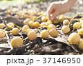 銀杏 イチョウ 収穫の写真 37146950
