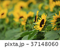 向日葵 花 夏の写真 37148060