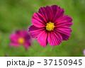 ピンク色 秋桜 花の写真 37150945