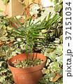 ソテツ 苗 裸子植物の写真 37151034