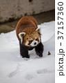 レッサーパンダ 冬 雪の動物園の写真 37157360