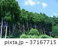 杉林 杉 木の写真 37167715