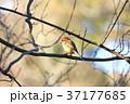 百舌鳥 モズ 野鳥 鳥 37177685