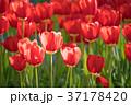 チューリップ 植物 花の写真 37178420