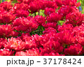 チューリップ 植物 花の写真 37178424