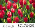 チューリップ 植物 花の写真 37178425