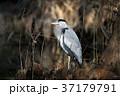 鷺 鳥 青鷺の写真 37179791