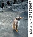 ジェンツーペンギンのこども 37179967