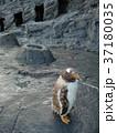 ジェンツーペンギンのこども 37180035
