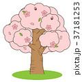 桜の木 桜 木のイラスト 37181253