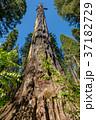 セコイア セコイヤ 樹木の写真 37182729