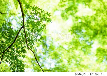 木洩れ陽の写真素材 [37187849] ...