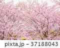 桜 花 春の写真 37188043