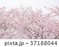 桜 花 春の写真 37188044