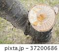 桜の切り株 37200686