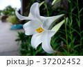 ユリの花 37202452