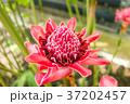 ショウガの花 37202457