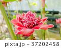 ショウガの花 37202458