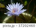 青い睡蓮 37202460